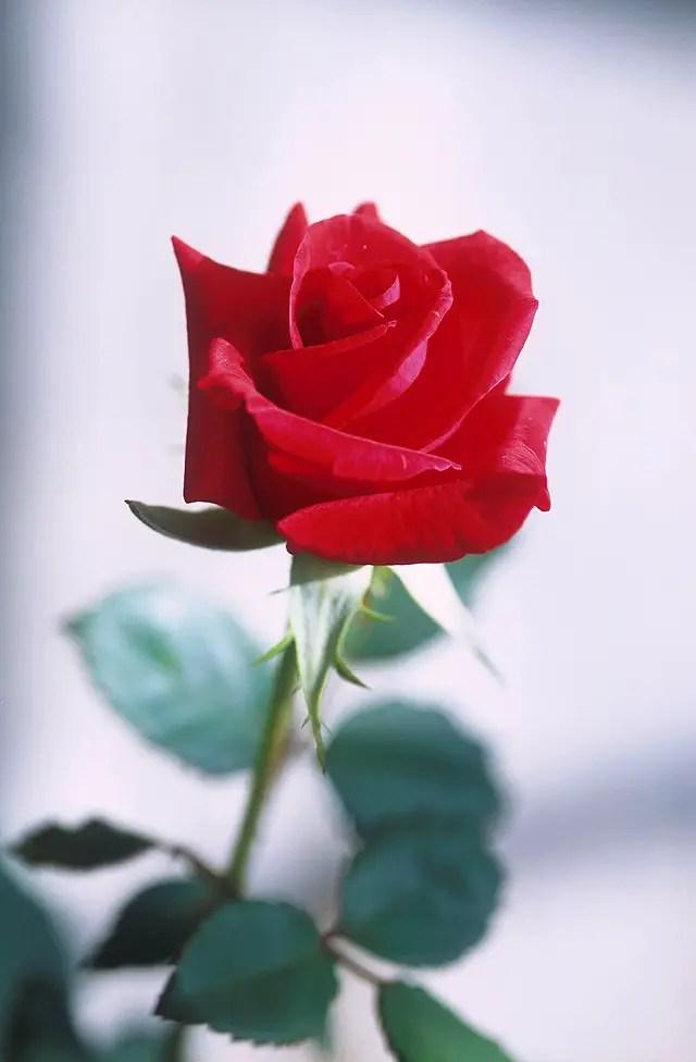 national flower the rose