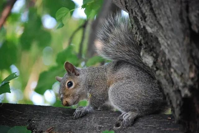 gray squirrel state symbols