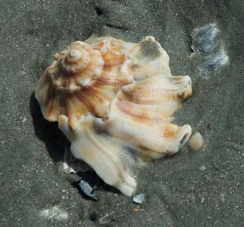 georgia state seashell knobbed