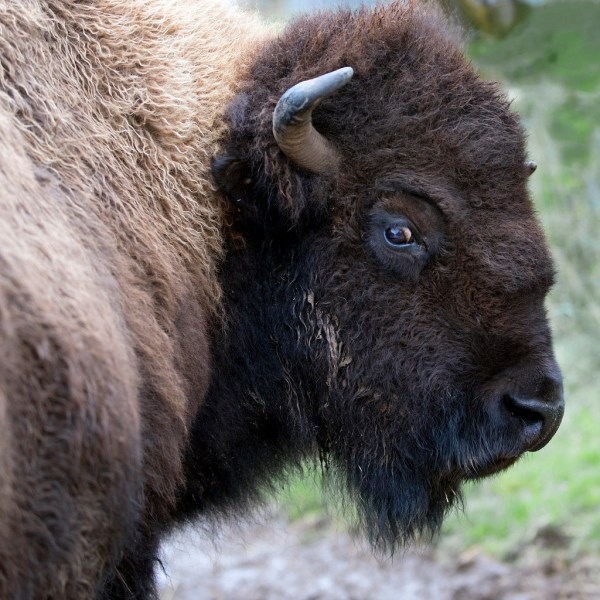 State Animal of Kansas American Buffalo
