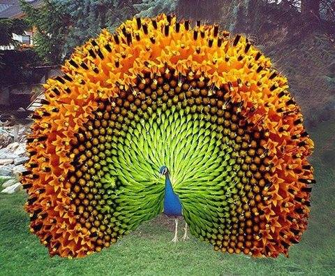 Peacock in full plumage
