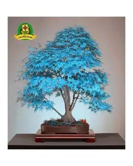 Blue Maple Bonsai Tree : maple, bonsai, Latest, Japanese, Bonsai