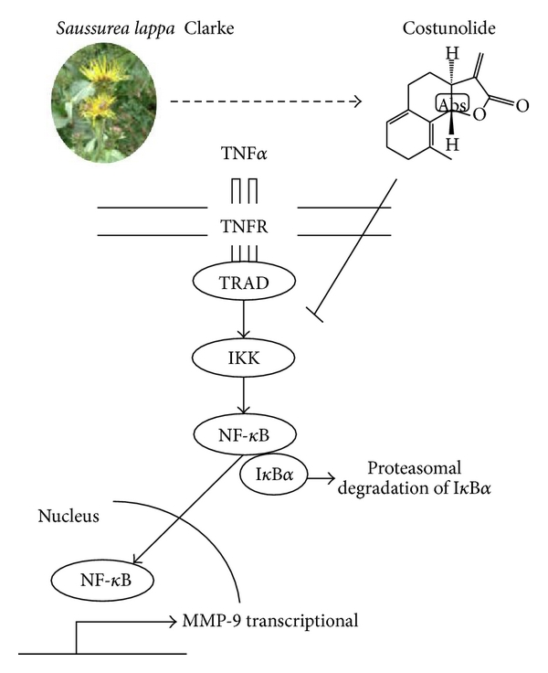 Figure 6 | Saussurea lappa Clarke-Derived Costunolide Prevents TNFα-Induced Breast Cancer Cell Migration and Invasion by Inhibiting NF-κB Activity