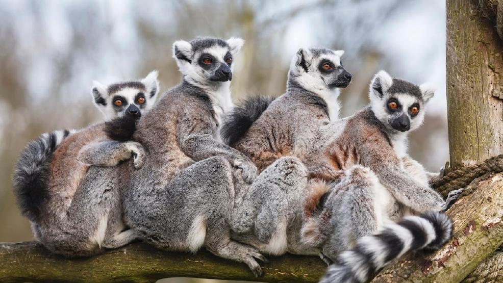 Image result for lemurs madagascar