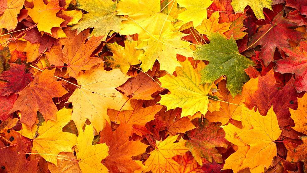 New England Fall Computer Wallpaper Maple Leaves Can Help You Look Younger Cyber Gazing