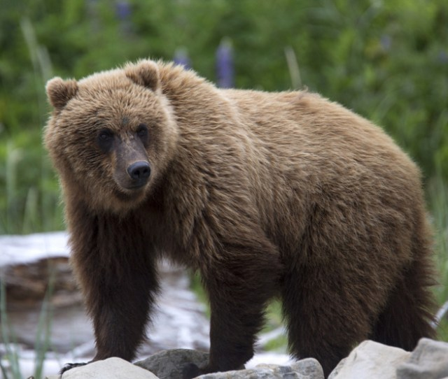 Idaho Grizzly Bear Hunter Picked By Fish And Game In Drawing