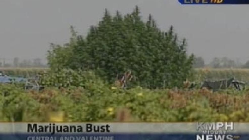 Authorities Raid Large Marijuana Grow Near Fresno KMPH