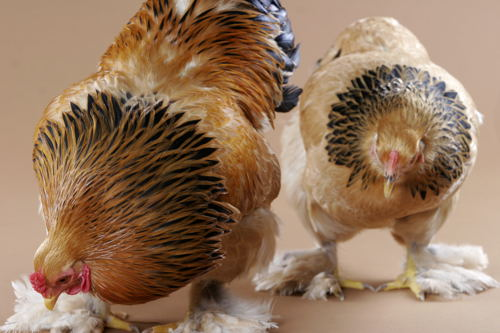 chicken-rooster and hen-hackle feathers