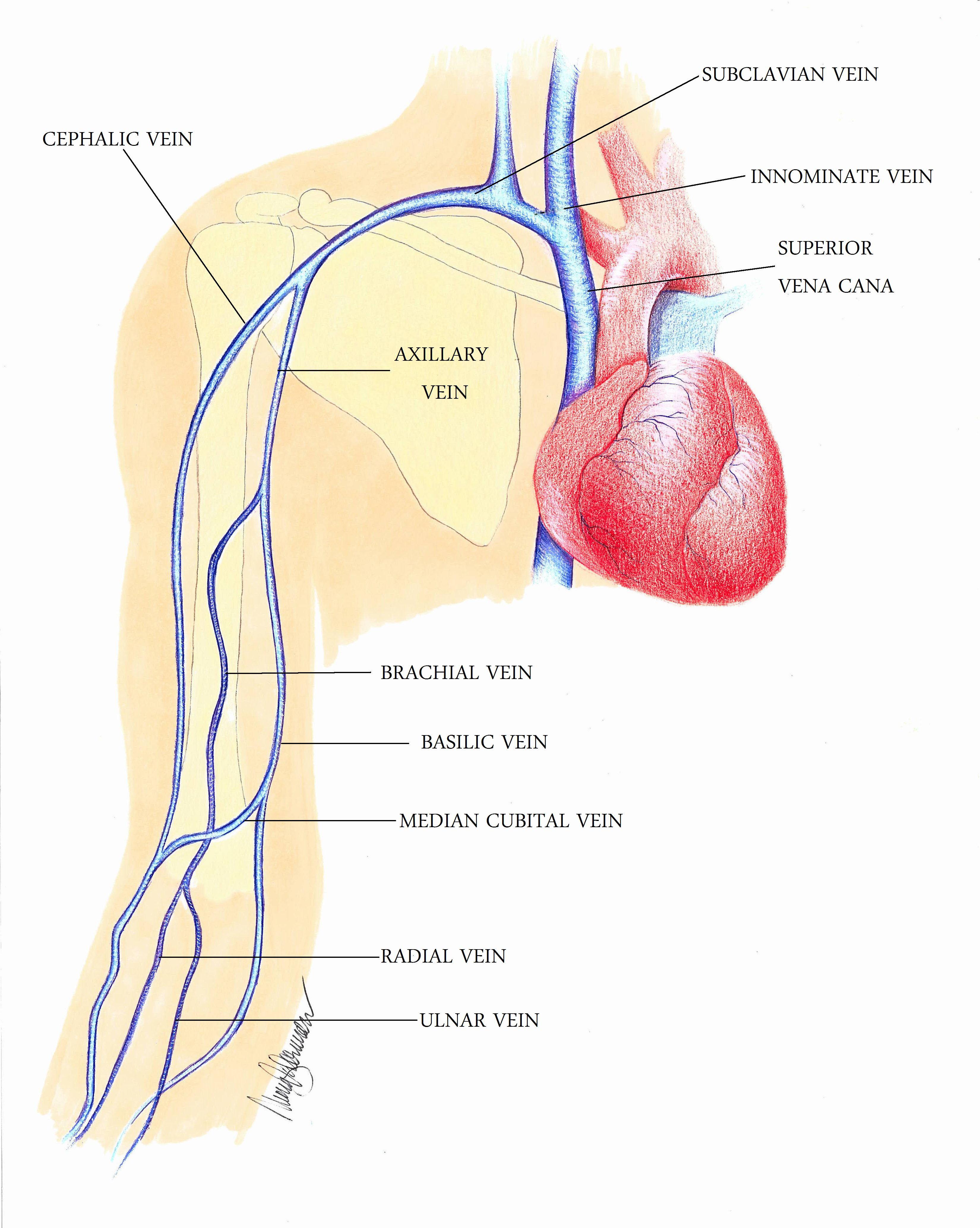 Fine Upper Arm Veins Anatomy Gallery - Anatomy and Physiology Tissue ...