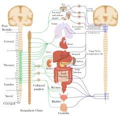 Sympathetic And Parasympathetic Diagram Blank Hockey Rink Body For Dermatology Map