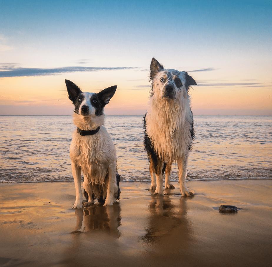 twee honden op de kust van het strand tijdens de zonsondergang