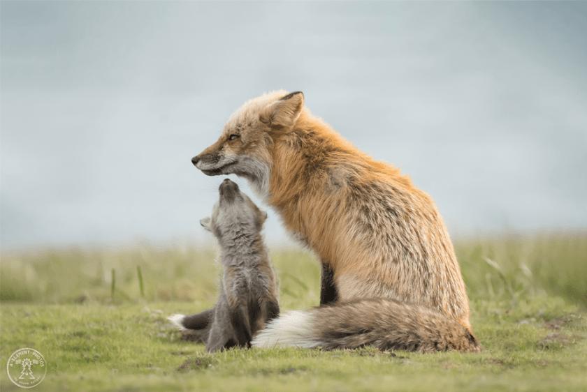 baby rode vos reikt naar zijn moeder voor een kus als ze op een groen veld staan