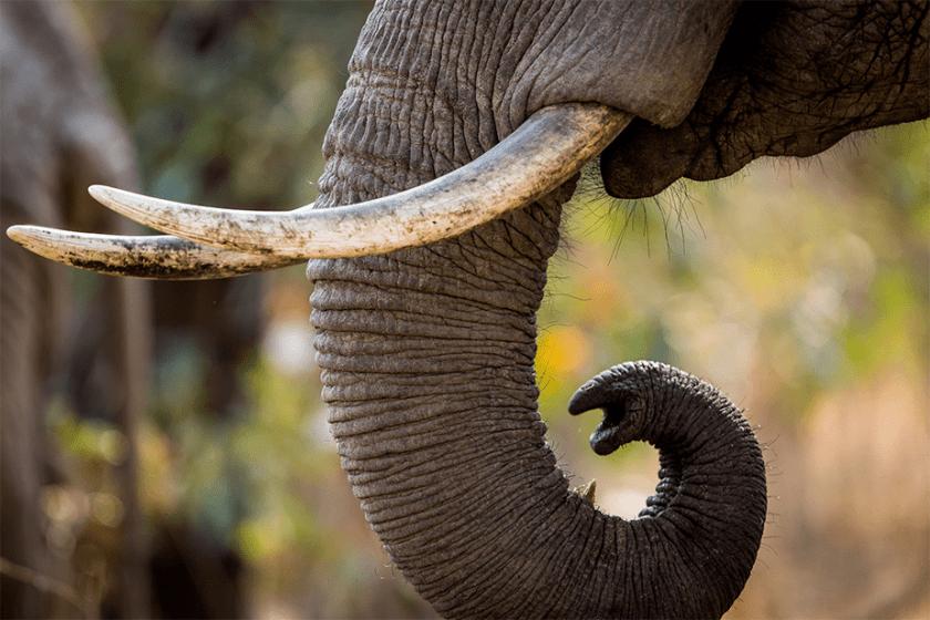 detailfoto van olifantsboomstam en slagtanden