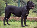 Le cane corso s'était accouplé avec une chienne. Ce qui a mis hors de lui son propriétaire.