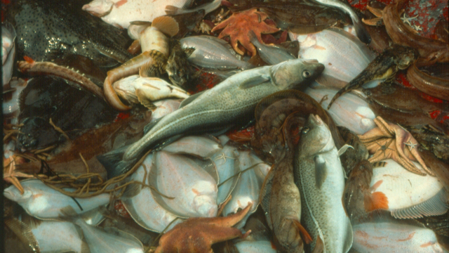 Nova Scotia cod fishery shows initial indications of recovery