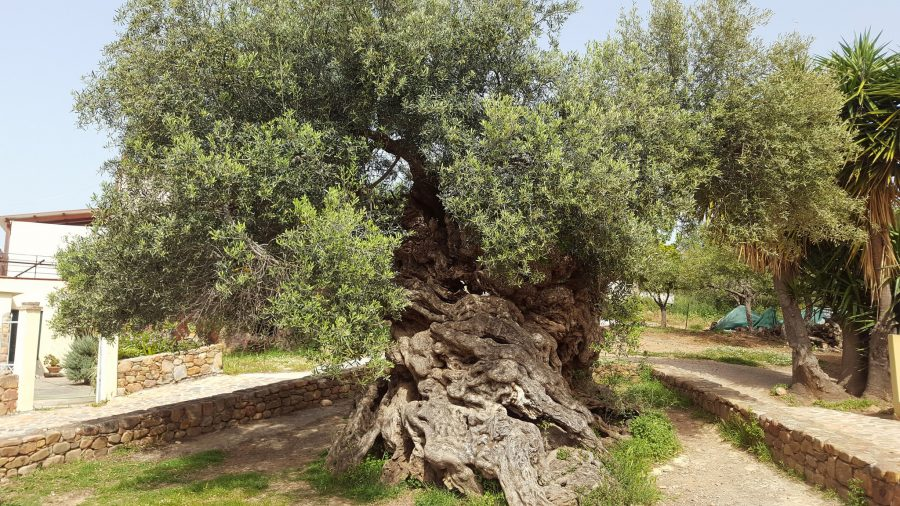 3 000 Year Old Olive Tree In Greece Still Produces Olives Today Artfido