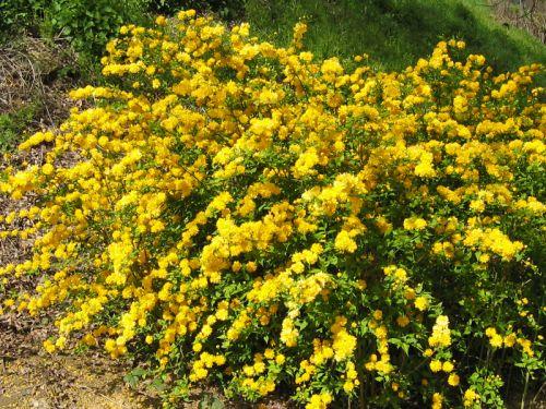 10 arbustes resistants aux grands froids