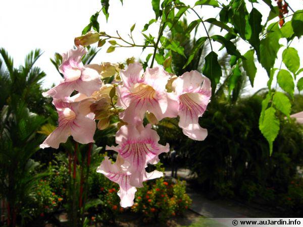 Bignone rose Liane orchide Podranea ricasoliana  planter cultiver