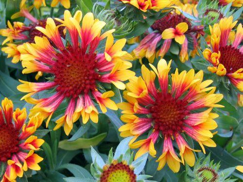 fleurs vivaces d ete