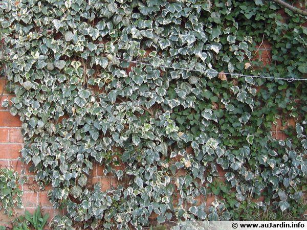 lierre hedera helix planter