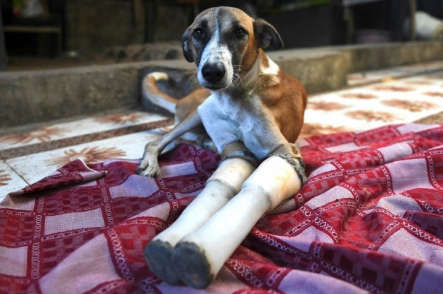 Rocky lost her front legs after being run over by a train in India, but is now headed to a