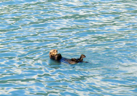 The sea otter is an awfully cute member of the weasel family.
