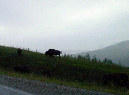 After traveling through some genuinely rotten roads in the rain, we had to run a gauntlet of grazing bison.