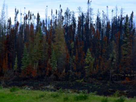 A lodgepole pine forest seeming to resurrect itself after a wildfire.