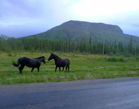 Signs warned us about bison, moose, and elk, but not about horses frolicking in the road.