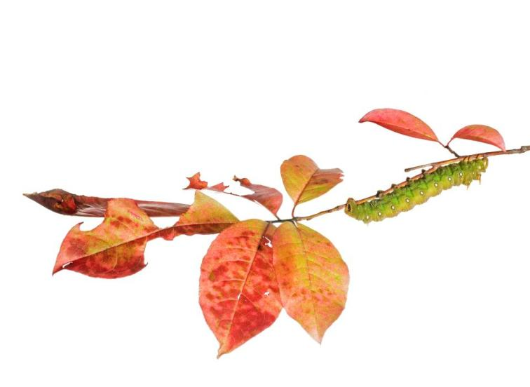 Imperial Moth Caterpillar (Eacles Imperialis) on Sourwood (Oxydendrum arboretum) leaves in fall.