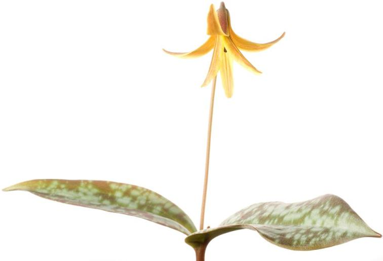 Trout Lily, Erythronium Americanum, photographed with the Field Studio