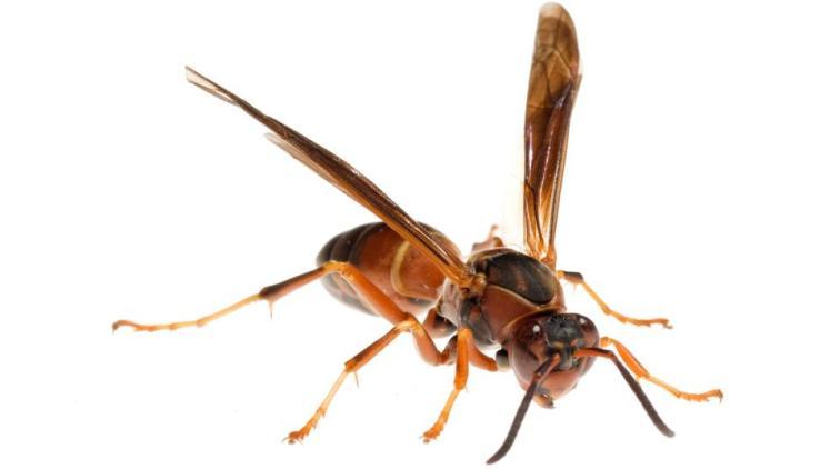 Paper Wasp, Polistes Metricus