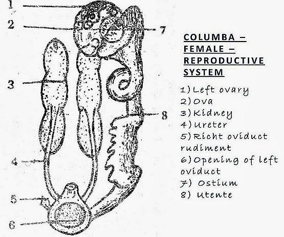 COMPARISION: Female Reproductive System of Bird, Rabbit