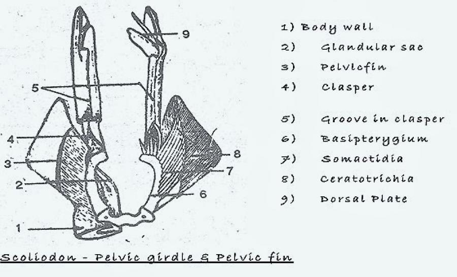 COMPARATIVE ANATOMY: PELVIC GIRDLE OF FROG AND SHARK