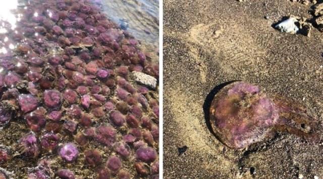 Arsuz'da kıyıya vuran mor renkli zehirli denizanaları için uyarı: Temas etmeyin