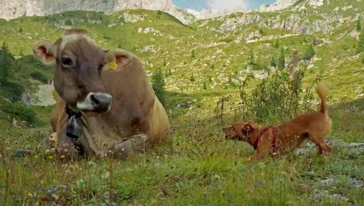Coronavirus, cani e bovini ci immunizzano? Ma non erano fonte contagio?