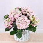 Blumen Geschenk: Hortensie ´´Sensation´´ rosa im Korb
