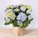 Blumen Geschenk: Freilandhortensie ´´Happiness´´ blau