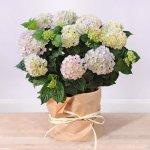 Blumen Geschenk: Freilandhortensie ´´Powerful´´ rosa