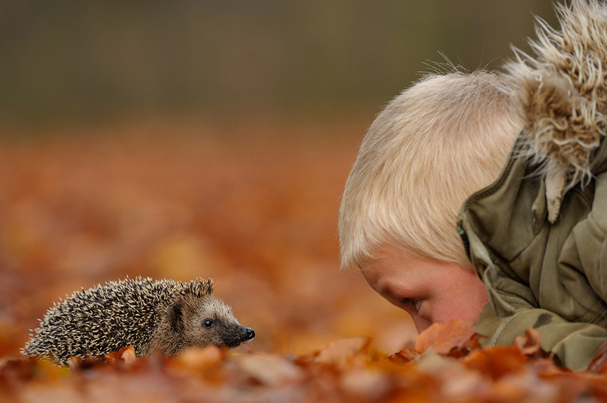 Fall Hedgehog Wallpaper Photographer Gets Animals Trust By Following Them