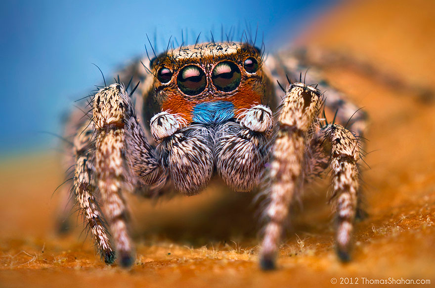 Cute Shut Up Wallpapers Macro Photos Of Cute And Cuddly Jumping Spiders By Thomas