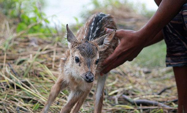 bangladeshi-boy-saves-drowning-baby-deer-9