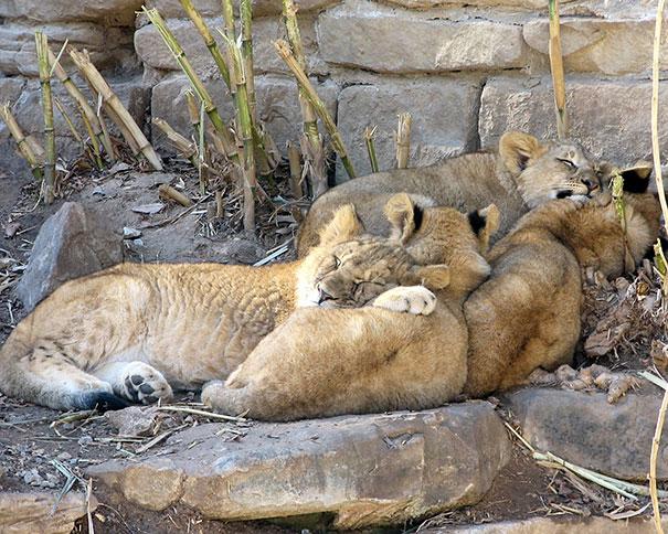 cute-animals-sleeping-pillows-14