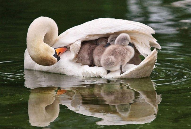 animal parents 2 - Momentos adoráveis dos pais com os filhotes no reino animal