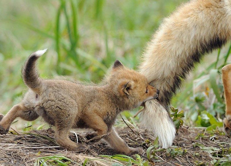 animal parents 7 - Momentos adoráveis dos pais com os filhotes no reino animal