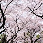 21 Of The Most Beautiful Japanese Cherry Blossom Photos Of 2014 Bored Panda