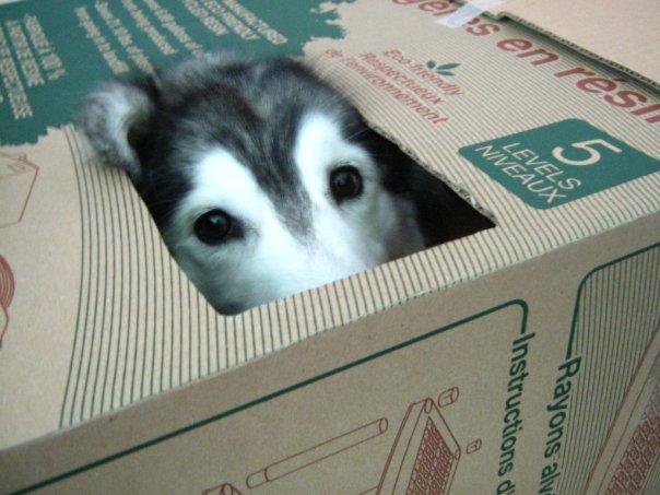 tally-husky-dog-raised-by-cats-5