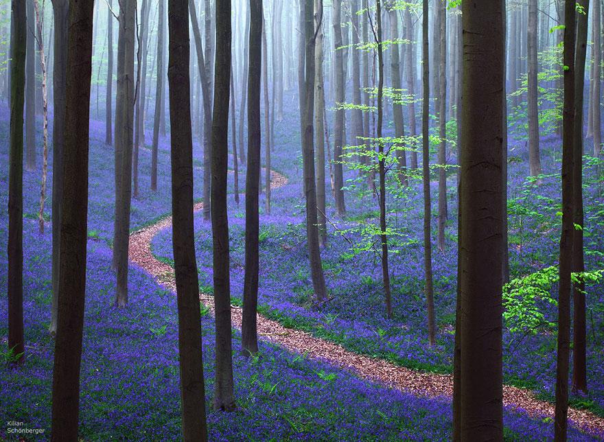 bluebells-blooming-hallerbos-forest-belgium-1