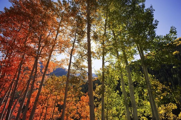 Rainbow Trees, Aspen, Colorado