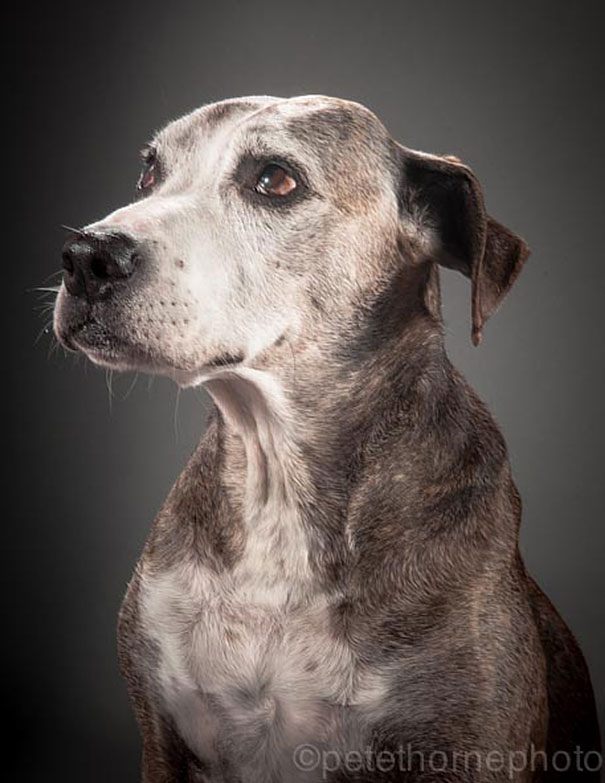 old-dog-portrait-photography-old-faithful-pete-thorne-6